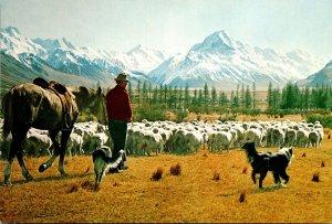 New Zealand Mount Cook Glentanner Station Sheep Mustering