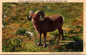 Yellowstone National Park Big Horn Mountain Sheep Curteich