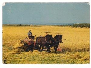 Mennonite Farmer Harvesting Grain, Near Elmira & St Jacobs, ON, 1981 Postcard