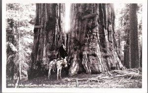 Lady and General Washington Tree-Canyon National Park, California