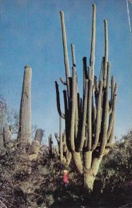 Arizona Saguaro Worlds Largest Saguaro 1958