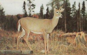 PORT RYERSE , Ontario , Canada , 1950-60s ; Greetings, Deer