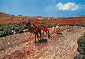 Spain Islas Canarias Ploughing with Camel Postcard