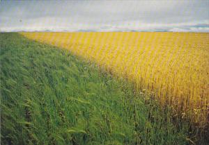 Canada Canadian Wheat Fields British Columbia