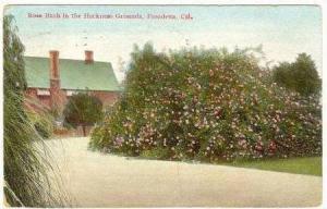 Rose Bush In The Harkness Grounds, Pasadena, California, PU-1909