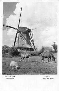 Holland Aalsmeer, Horses, Sheep, Lamb, Windmill, Foto Alex Beckers 1954