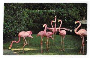 Florida Birds Pink Flamingos Courtesy Hialeah Race Course Photo Vintage Postcard