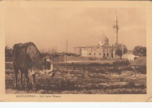 ALEXANDRIA , Egypt, 1900-10s; Sidi Gaber Mosque, Cow in field