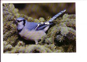 Blue Jay, North American Wildlife, Canada