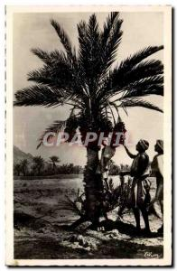 Africa - Arfrica - South Types - The Harvest of Dates in the South - Old Post...