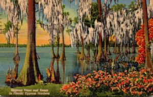 Florida Cypress Gardens Giant Cypress Trees and Knees 1952 Curteich