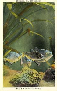Fish - Piranha
