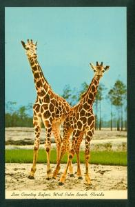 Giraffes Lion Country Safari West Palm Beach Florida FL Wildlife Postcard