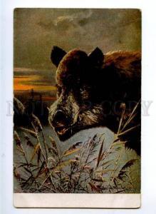 156942 HUNT Winter WILD BOAR Portrait by MULLER Vintage Rus PC