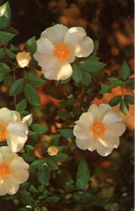 Georgia State Flower - Wild Cherokee Rose