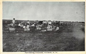 Harvesting Potatoes, Portales, NM, New Mexico Old Postcard