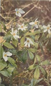 Wind Flower (Anemone quinquefolia)  Wild Flower, Chrome