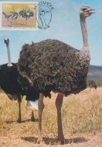 Ostrich Long Neck Maltahofe African Africa Namibia Bird First Day Cover Postcard