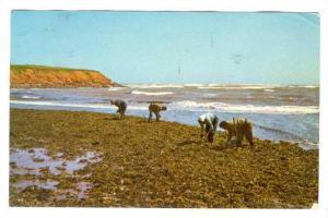 Gathering Irish Moss,North Rustico,Prince Edward Island,Canada,PU-1971