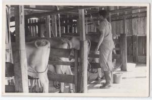 RPPC, Milk Cowns in the Barn