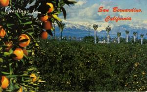 San Bernardino California CA ~ Panorama Oranges Orange Groves Postcard