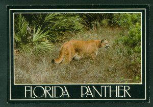 Florida Panther Endangered Wild Cat Wilderness Vintage Postcard