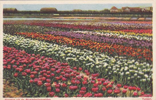 Netherlands Amsterdam Groeten uit de Bloembollenvelden Tulpen