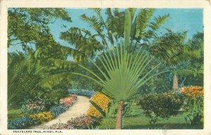 Travelers Tree Miami FL 1923 White Border Postcard, Palm Tree