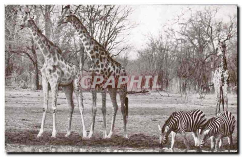 CPA Giraffe and zebra