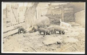 Mother Pig w/Piglets & Cat in Pigpen RPPC Unused c1910s