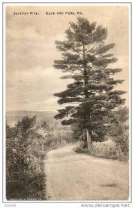 Sentinel Pine, Buck Hill Falls, Pennsylvania, 00-10s
