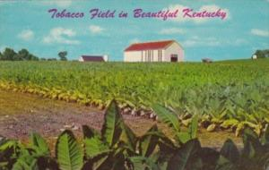Tobacco Field In Beautiful Kentucky