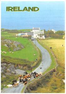 Cattle - Ireland