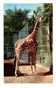 California San Diego Zoo Reticulated Giraffe