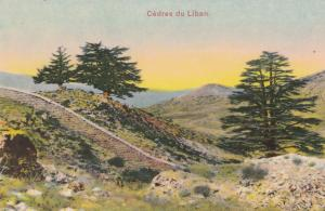 Lebanon Cedar Trees Antique Postcard