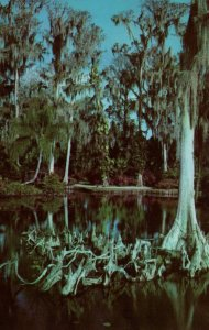 Cypress Trees and Knees,FL