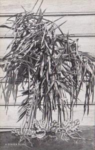 Jamaica A Ginger Plant Curteich