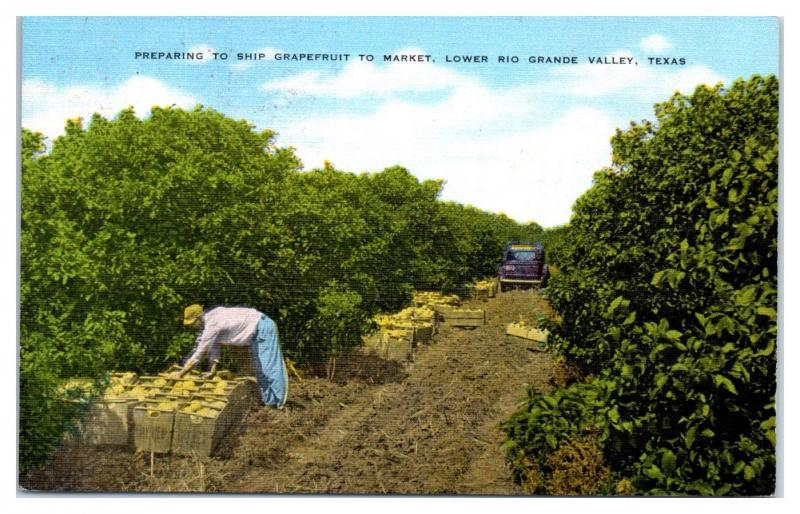 Mid-1900s Picking and Packing Grapefruit, Lower Rio Grande Valley, TX Postcard