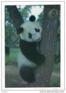 PANDA Bear in tree, Beijing, China, Zoo, 60-70s