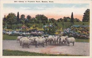 Massachusetts Boston Sheep In Franklin Park
