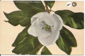 A Magnolia Blossom, Florida H & WB Drew Company Vintage Postcard 1910's