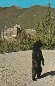 Friendly Black Bear, Banff Springs Hotel, BANFF, Alberta, Canada, 40-60's