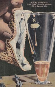 Florida Silver Springs Milking Rattlesnake Ross Allen Institute Curteich sk627
