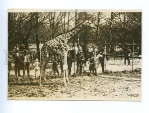 162318 Russia MOSCOW ZOO Giraffe Vintage SOYUZPHOTO 1932 PC
