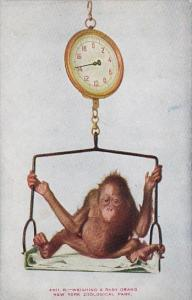Weighing A Baby Orang New York Zoological Park New York