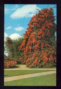 Cypress Gardens, Florida/FL Postcard, Colorful Bougainvillea