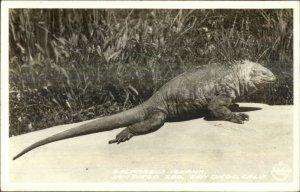 Balboa Park Zoo San Diego FRASHER'S Real Photo Postcard GALAPAGOS IGUANA