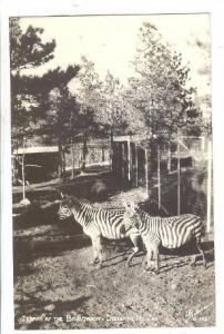 RP: Zebras at the Broadmor - Cheyenne Mt Zoo , Colorado , 30-40s SANBORN # S-...