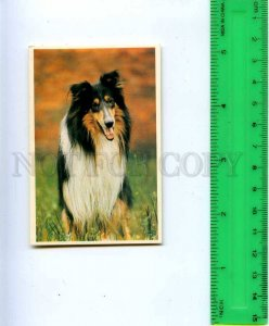 188944 RUSSIA collie dog Old CALENDAR 1992 year
