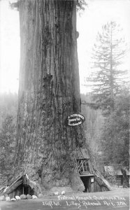 Fraternal Tree Humboldt California Patterson #3P64 RPPC Photo Postcard 20-2749